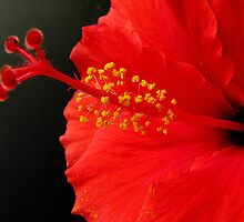 Red Hibiscus - 1 by Gloria Abbey