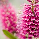 Pink Beauty by Melina Roberts