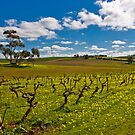 Barossa Winter Vines by Paul Thompson