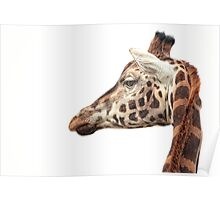Giraffe Melbourne Zoo Poster