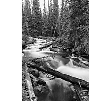 Pine Tree Forest Creek Portrait In Black and White Photographic Print