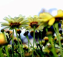 Dozens of daisies by Antionette