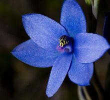 Sun Orchid 1 by Philip Cannon