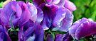 Skakerings van pers, van laventel tot lila/Shades of purple, from lavender to lilac by Antionette