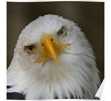 Bald Eagle pose Poster