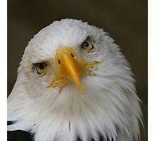 Bald Eagle pose Photographic Print