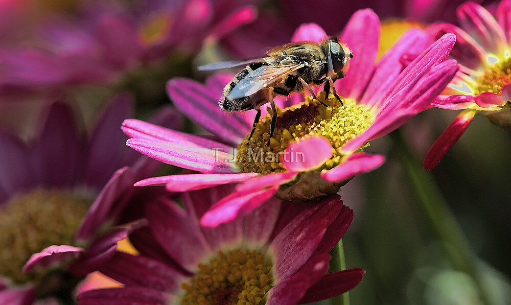 Honeybee - Marguerite Daisy by T.J. Martin