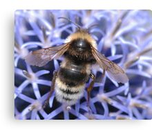 Mr Bumble bee Canvas Print