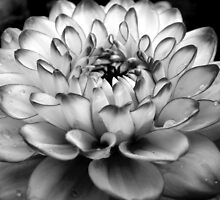 dahlia in monochrome by purpleminx