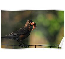 Don't have time to visit, I've got to feed the kids...Montana Robin Poster