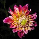 Dahlia In Bloom by Hank Eder