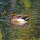 On Burton Pond: for the love of ducks by Sandra Harris