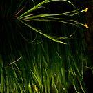 On Burton Pond: pond iris in bloom #2 by Sandra Harris