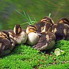 On Burton Pond: for the love of ducks #2 by Sandra Harris