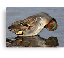 Mr Teal Takes A Bow / Green Winged Teal Canvas Print