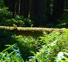 Redwoods Revisited by Bob Moore