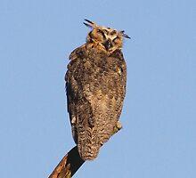 Sleepy Owl  by Karen  Moore