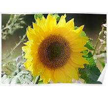 A Sunflower Poster