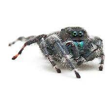Daring Jumping Spider by April Koehler
