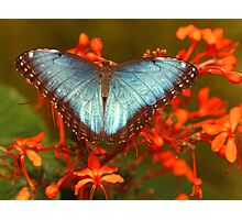 Blue Butterfly Among Flowers Photographic Print