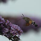 Hummingbird Hawk Moth by Antony Burgess