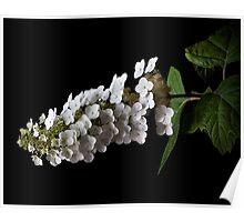 Hydrangea Paniculata  Poster