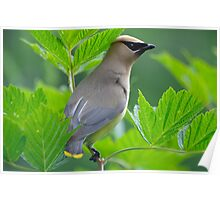 Young Cedar Waxwing on Salmonberry Bush Poster