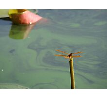 Just hatched dragonfly Photographic Print