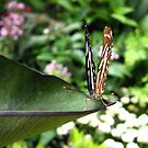 Butterfly 1 by junebug076