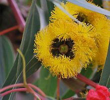 Eucalyptus Erythrocorys front view. by Lozzar Flowers & Art