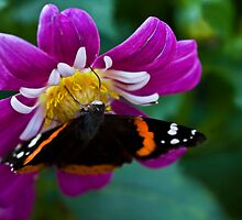 The Dahlia and The Painted Lady by Adam Bykowski