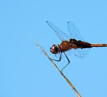 Regal Brown Dragonfly by Rosalie Scanlon