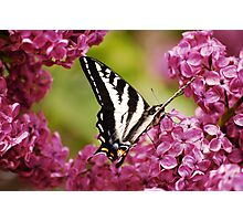 Butterfly Sitting on Flowers Photographic Print