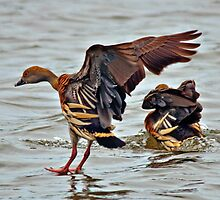 Exquisite Plumage of the Plumed Whistling-Duck by Janette Rodgers