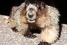 Marmot by zumi