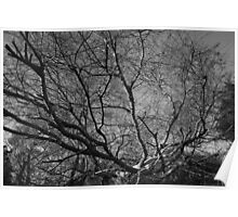 chinese elm tree Poster