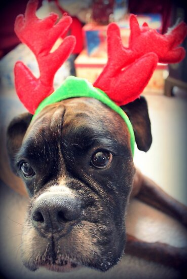 It's That Time Of The Year Again... Bah Humbug... - Boxer Dogs Series by Evita