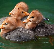Magpie Goslings by Stuart Robertson Reynolds