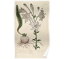 A curious herbal Elisabeth Blackwell John Norse Samuel Harding 1737 0040 White Lilly Poster
