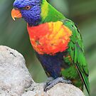 Rainbow Lorikeet by DutchLumix