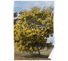 Wattle tree Poster