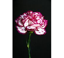 Carnation Portrait 3 Photographic Print