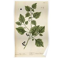 A curious herbal Elisabeth Blackwell John Norse Samuel Harding 1737 0276 Night Shade Nightshade Poster