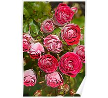 Pink and red roses Poster