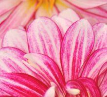 Pink dahlia flowers Sticker