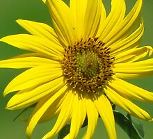 Maximilian Sunflower by lorilee