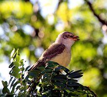 Juvenile Northern Mockingbird by Dave & Trena Puckett