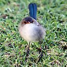 Blue wren by Carol  Lewsley