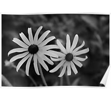 Black and White Black Eyed Susans Poster