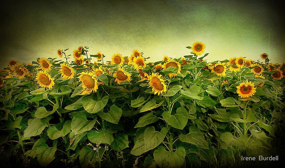 Field of Gold . by Irene  Burdell